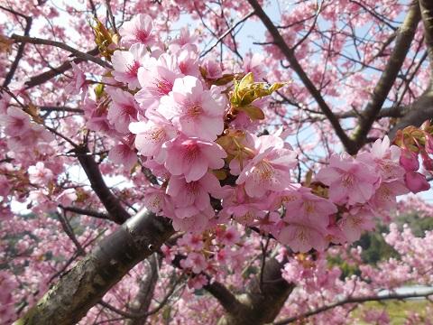河津桜(14)