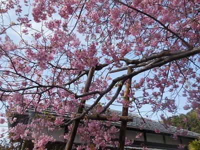 原木桜(3)