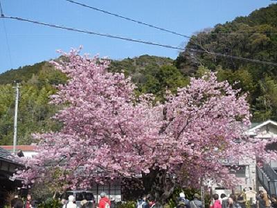 原木桜(1)