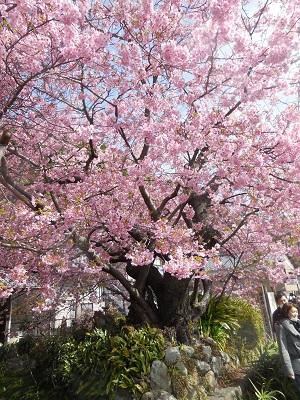 原木桜(0)