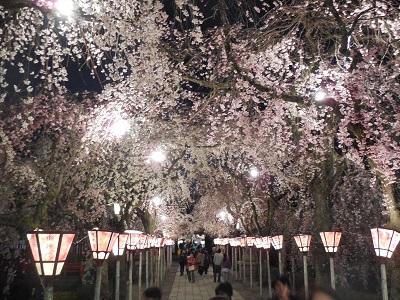 三島夜桜(3)