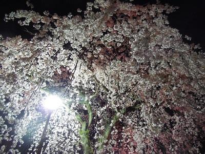 三島夜桜(4)