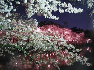 三島夜桜(5)