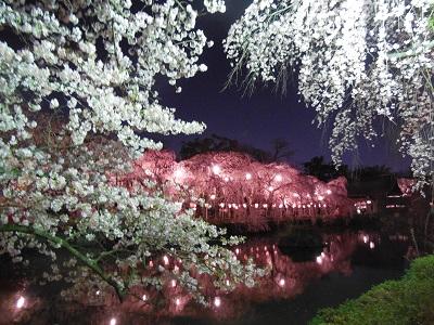 三島夜桜(6)