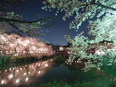 三島夜桜(7)