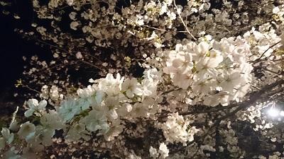 三島夜桜(14)