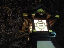 三島夜桜(15)