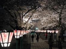三島夜桜(18)