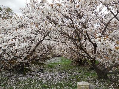 御室桜(4)