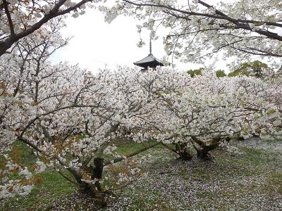 御室桜(5)