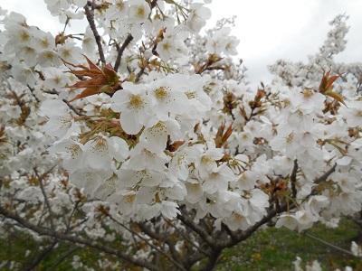 御室桜(10)