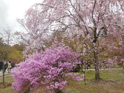 御室桜(12)
