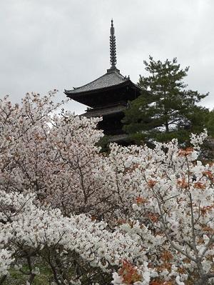 御室桜(14)