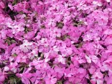 芝桜(6)