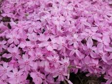 芝桜(8)