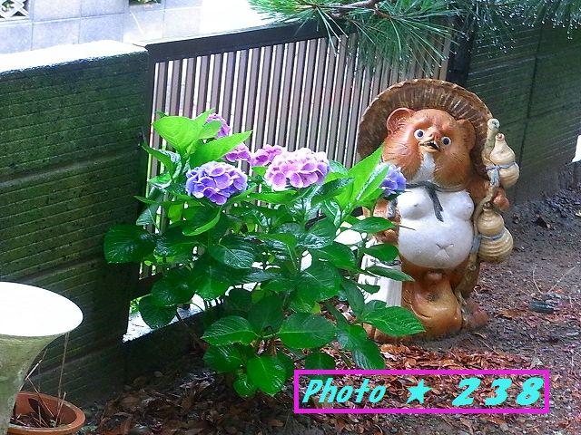 タヌキと紫陽花