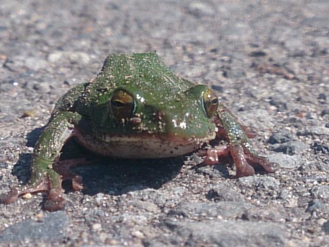 20150513 漁協駐車場にいたカエル