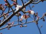 2015・03・29舞洲桜