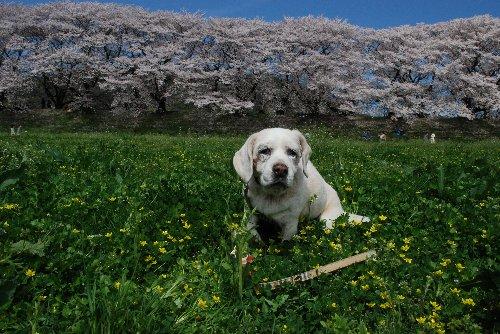 2015・04・04桜まつり6