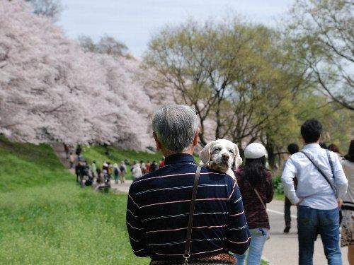 2015・04・04桜まつり7