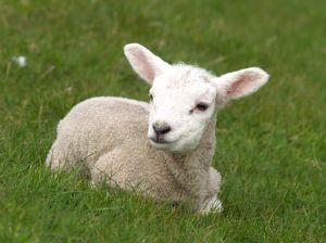 羊 眺める