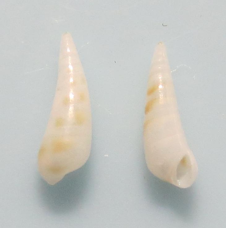 キボシクリムシ