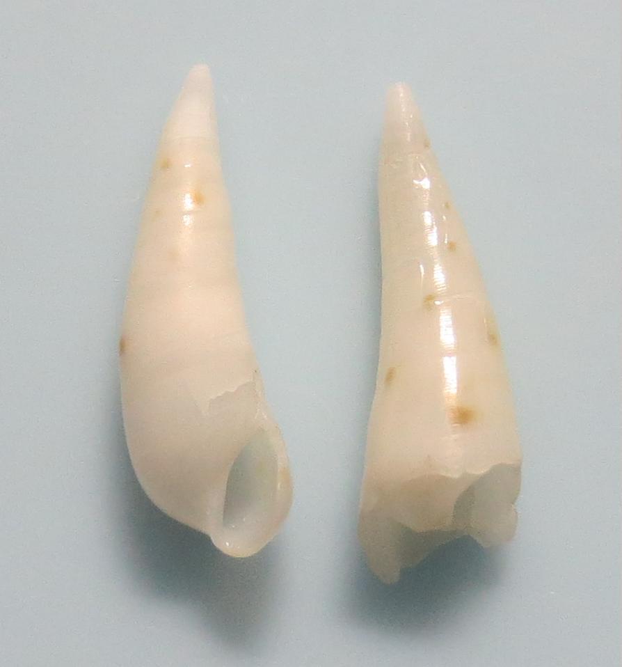 ケボリクリムシ