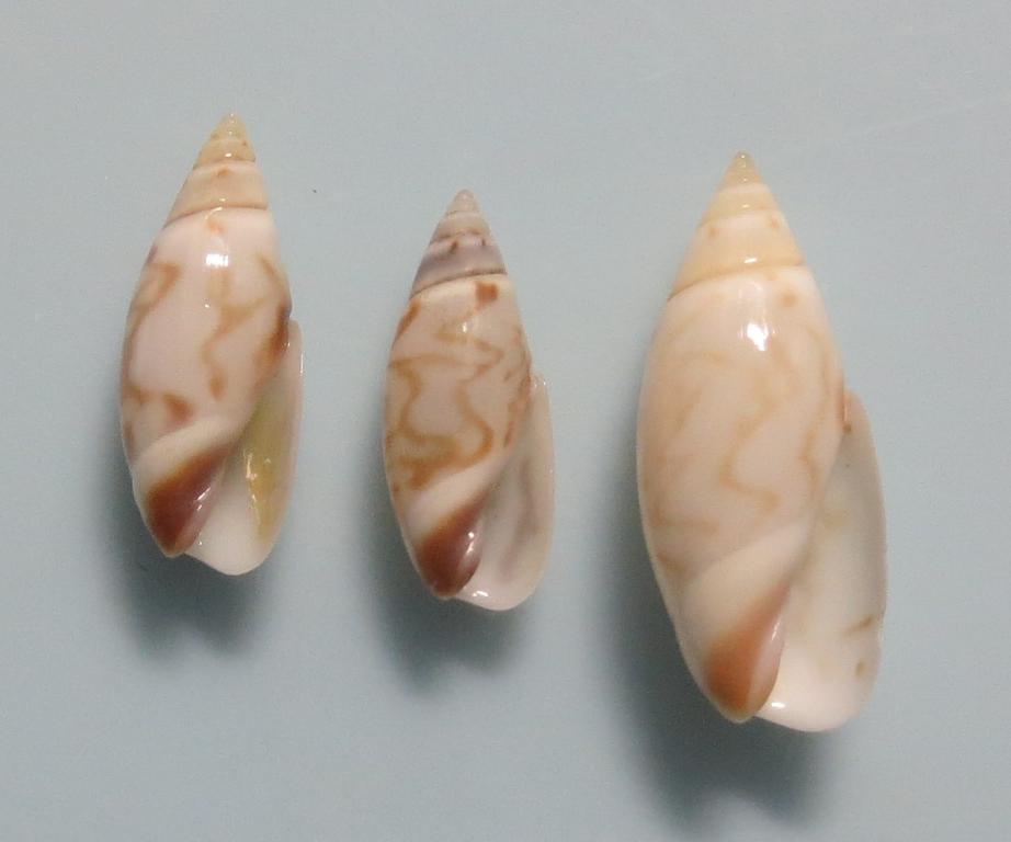 ムシボタル