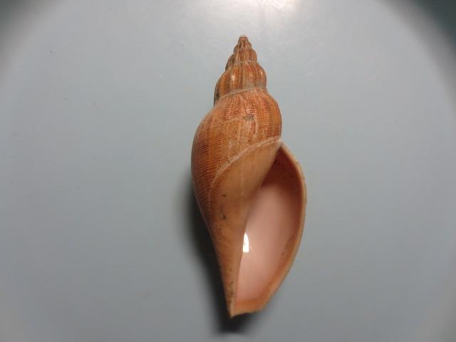 ニクイロヒタチオビ3