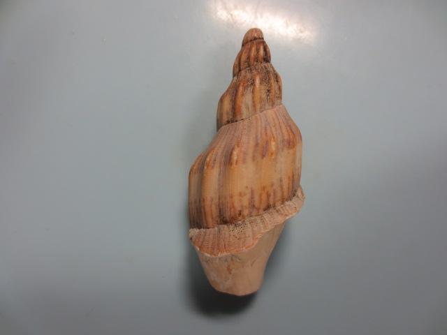 ニシキヒタチオビ