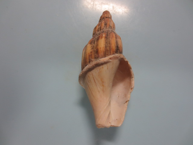 ニシキヒタチオビ2