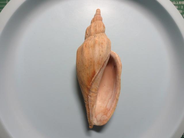 ニシキヒタチオビ3