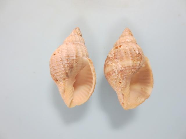 コンゴウボラ