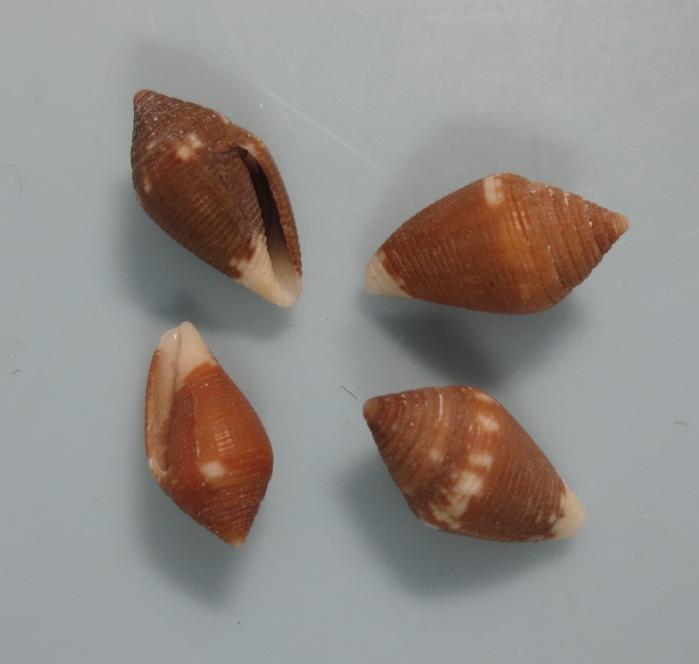 Lovellona biconus