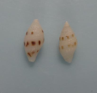 Mitromorpha stepheni