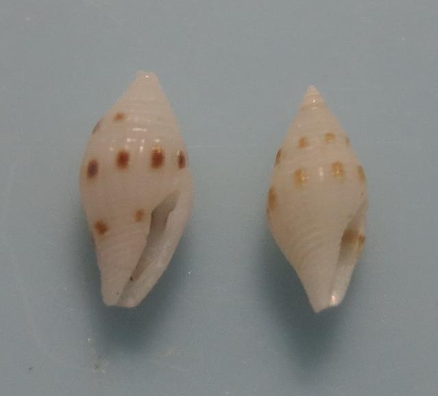 Mitromorpha stepheni 2