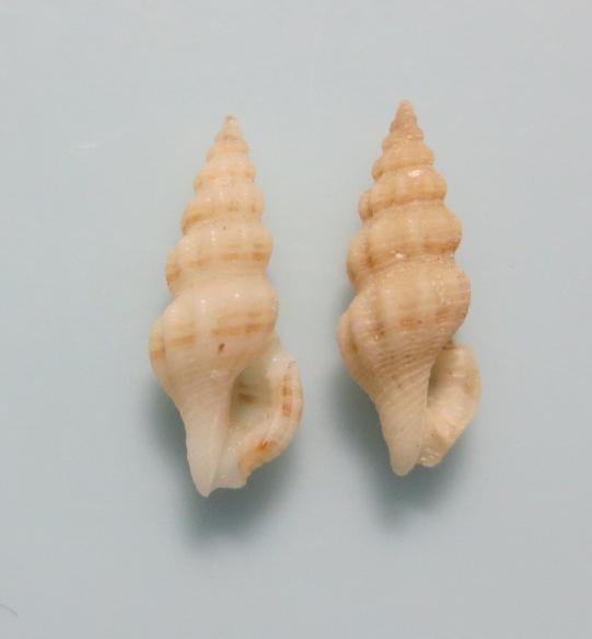 Clathurella sp