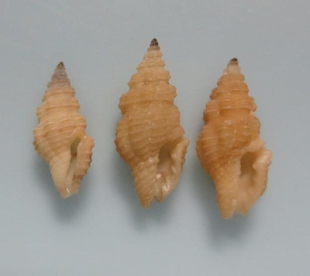 キイロアラボリクチキレツブ