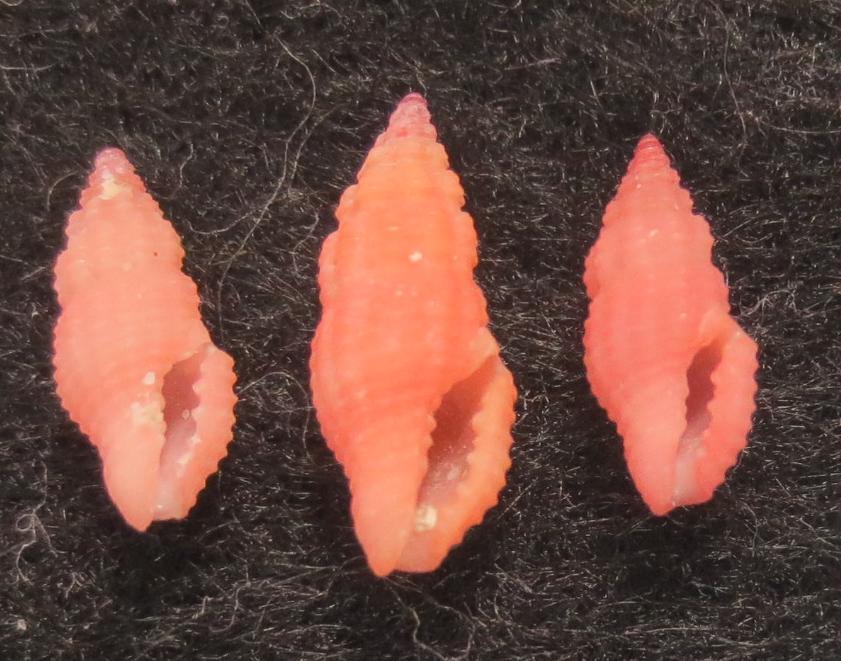 Lienardia crassicostata