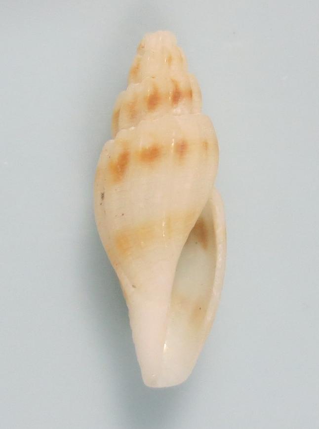 Eucithara sp
