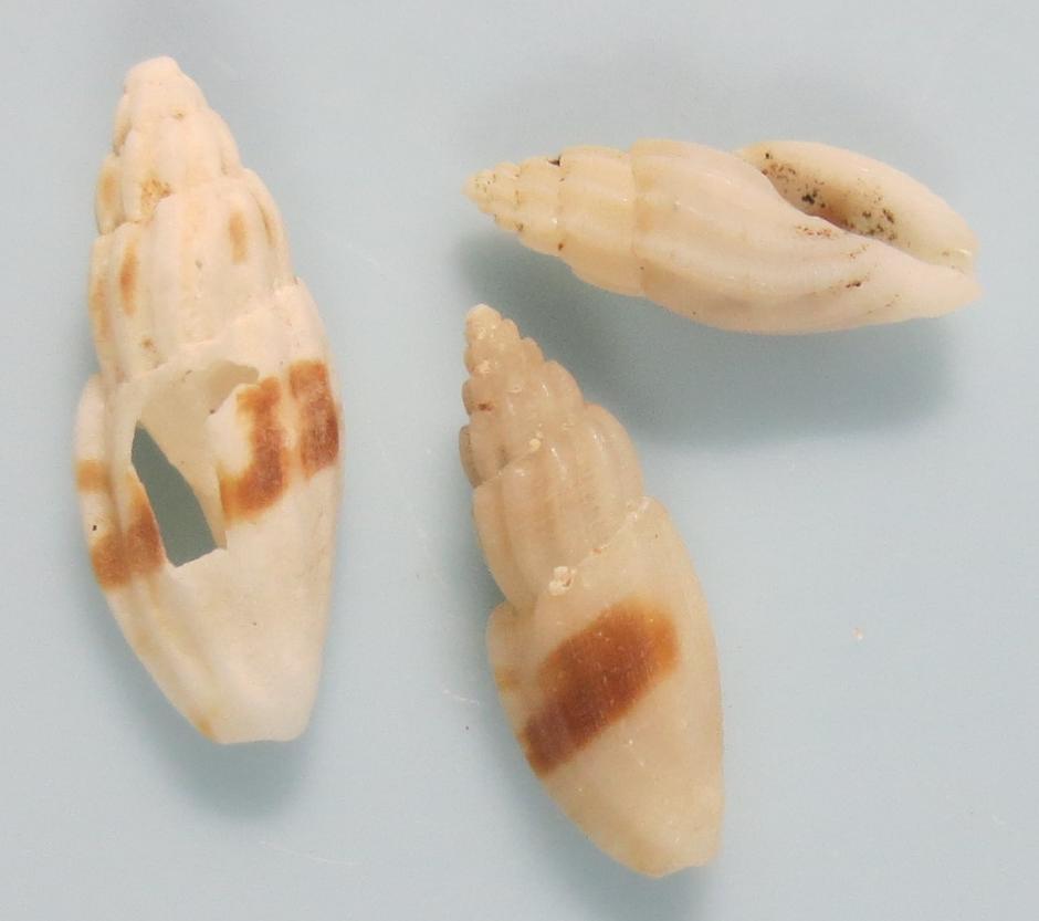 ハンオビコトツブ