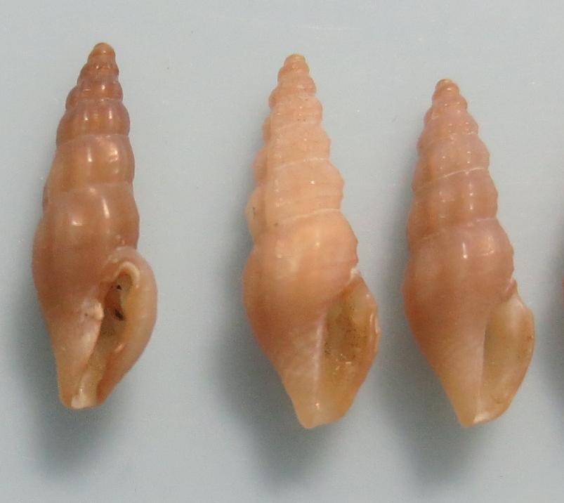 キバコトツブ
