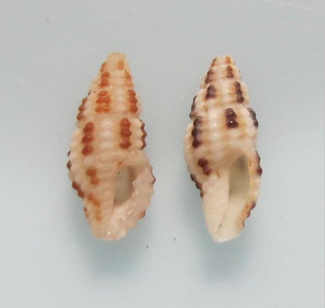 チチジマコウシツブ