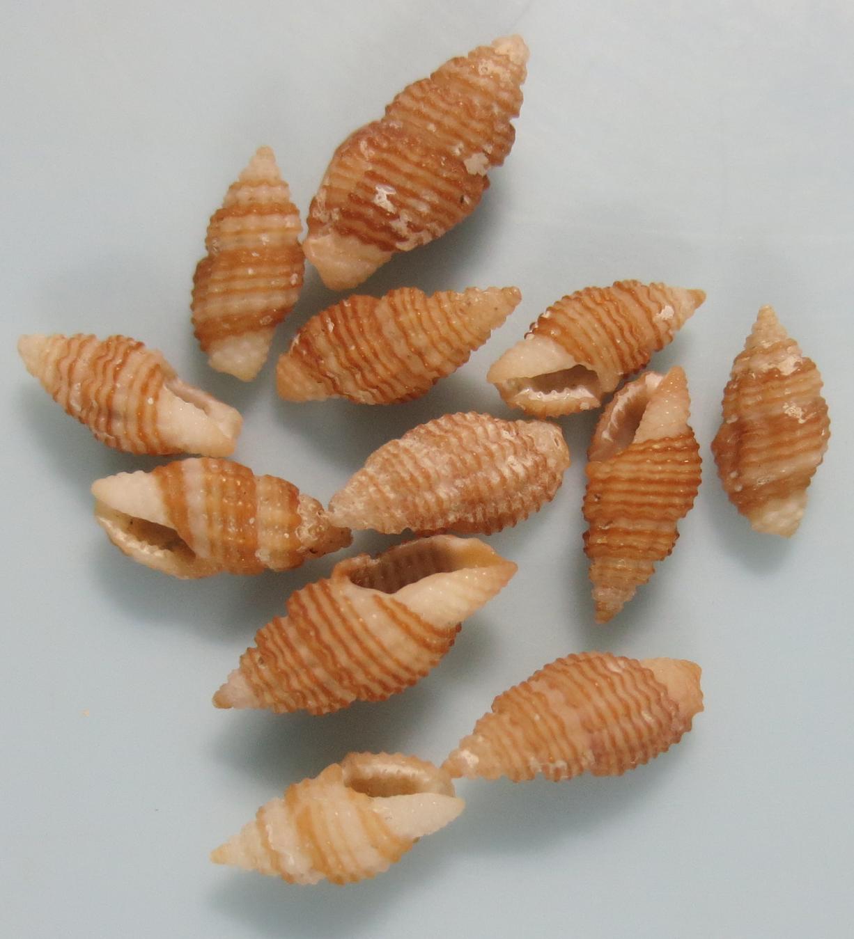 Lienardia sp2