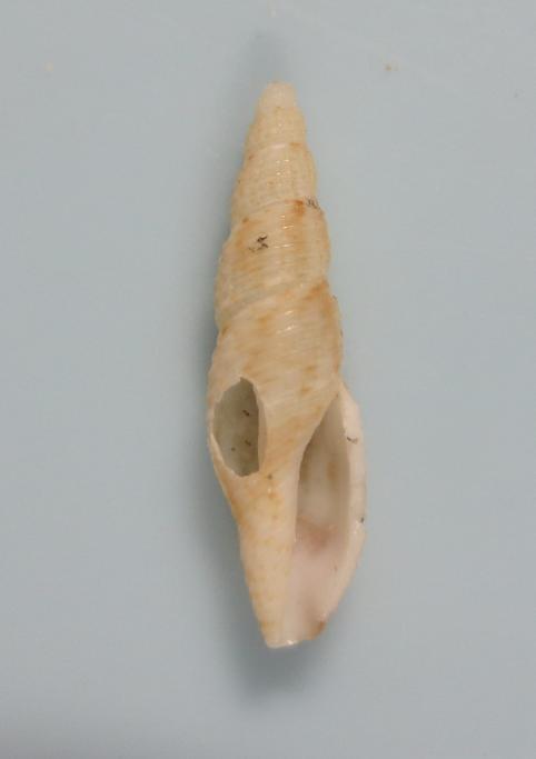 Daphnella boholensis