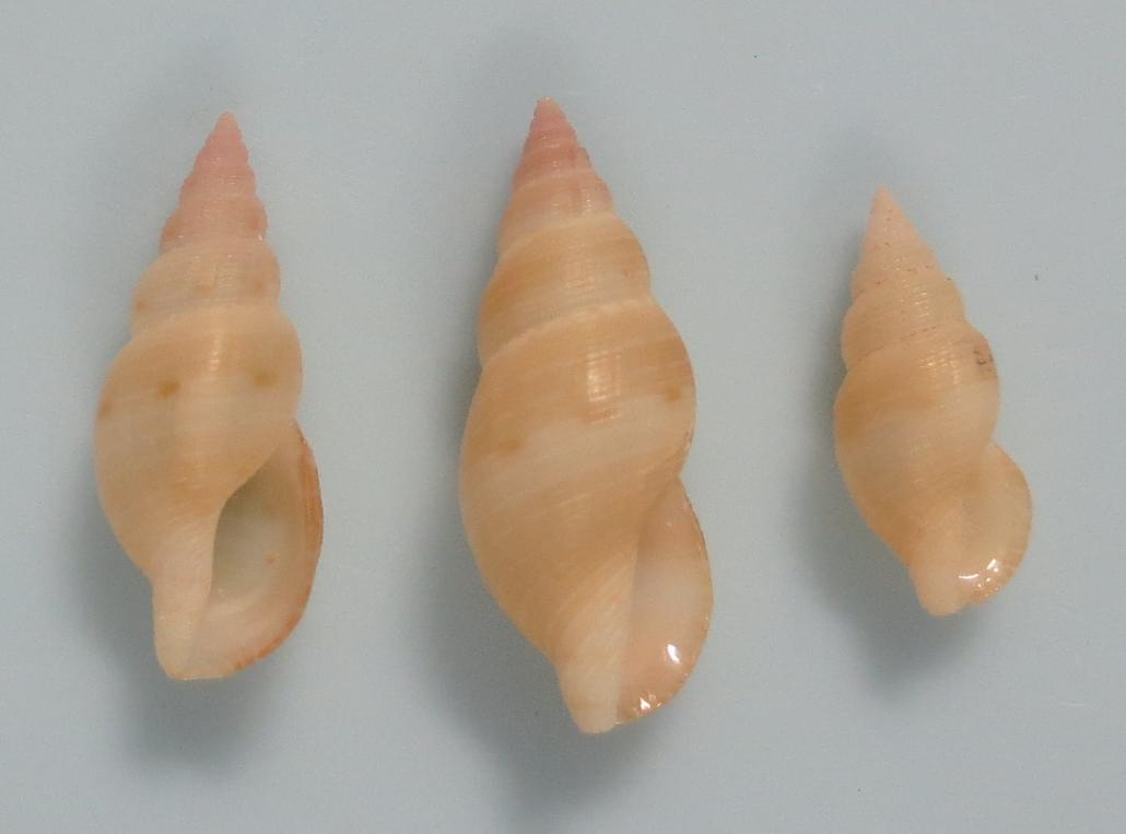 Tritonoturris paucicostata