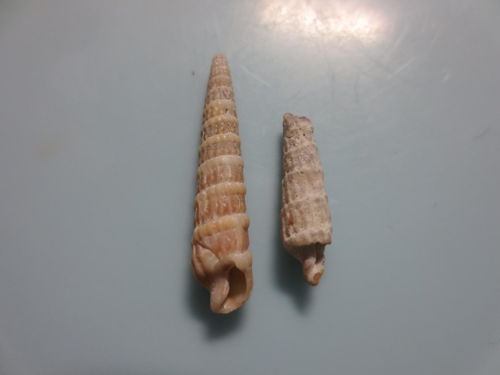 イボヒメトクサ