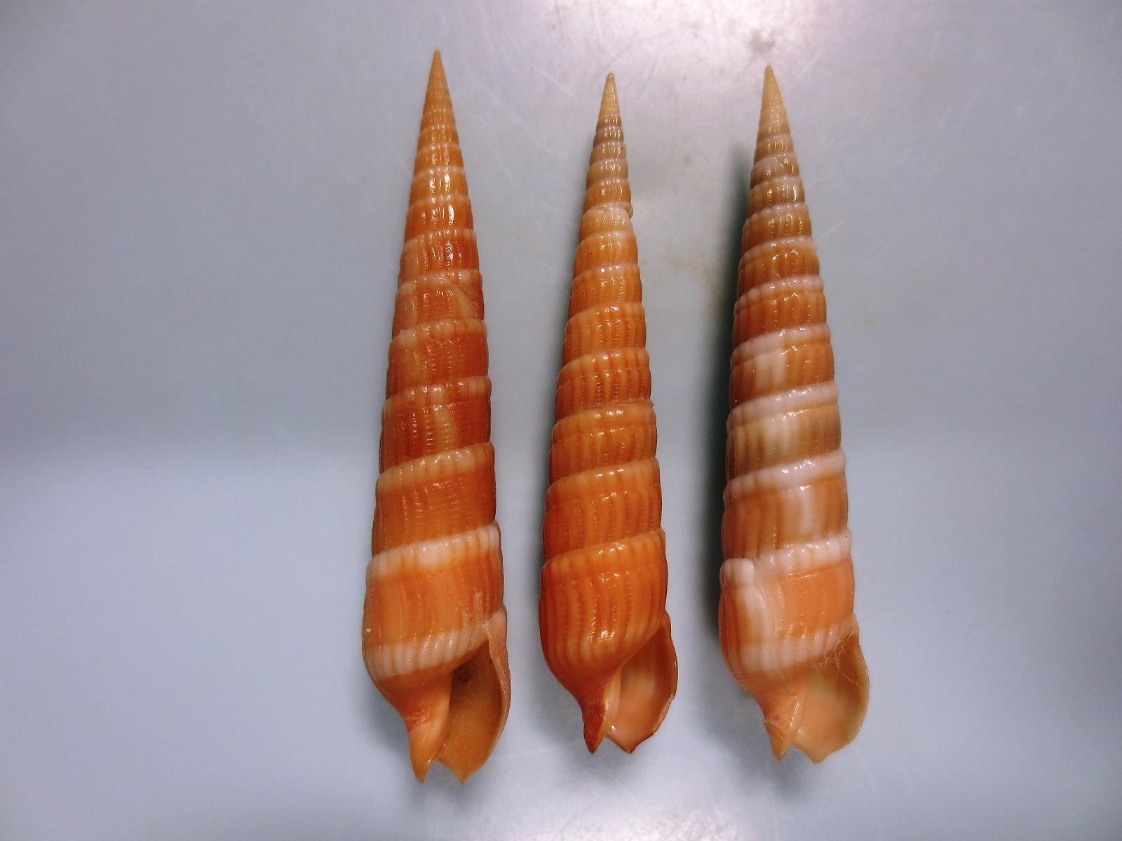 シロフタスジギリ