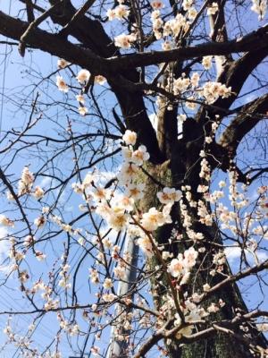 越生梅林の白梅