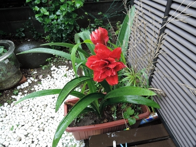 アマリリスの2番咲き